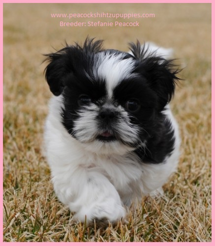 Peacock Family Shih Tzu Puppies